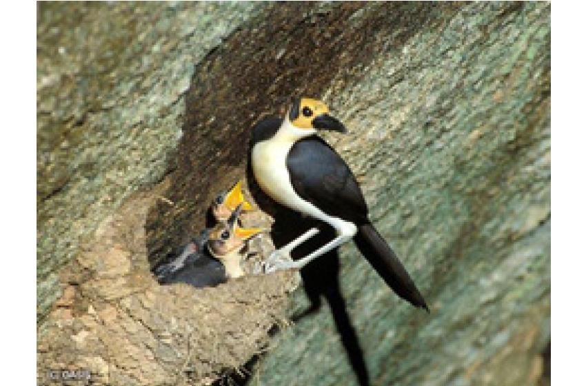 مٹی سے گھر بنانے والے پرندے