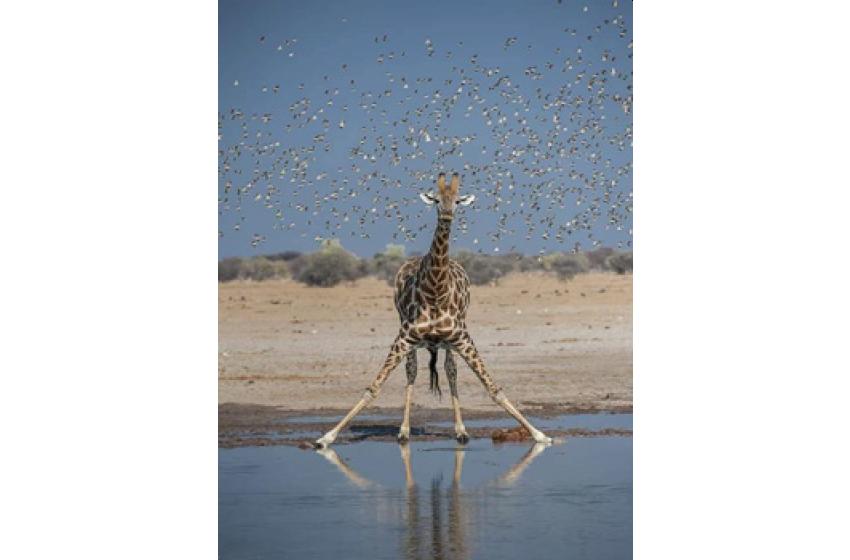 زرافہ Giraffe
