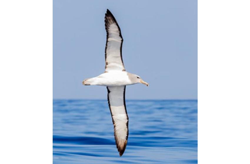 الباٹروس Albatross