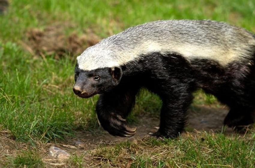 ہنی بیجرHoney Badger
